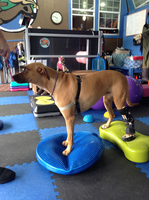 Orthotics for pets